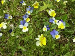 Az első tavaszi virágok az erdőben szemet gyönyörködtetőek